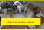 Çatak Köyünde yaban domuzu Av Köpeğini yaraladı. Ağır yara alan Av Köpeği Ameliyat edildi.
