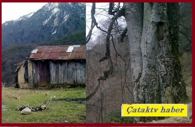 Çatak Köyünde asırlık Gürgen Ağaçları zamana meydan okuyor…