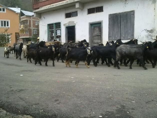Yayladan göçler köye dönmeye başladı. Bu yıl yaylacılar ikiye bölündü…